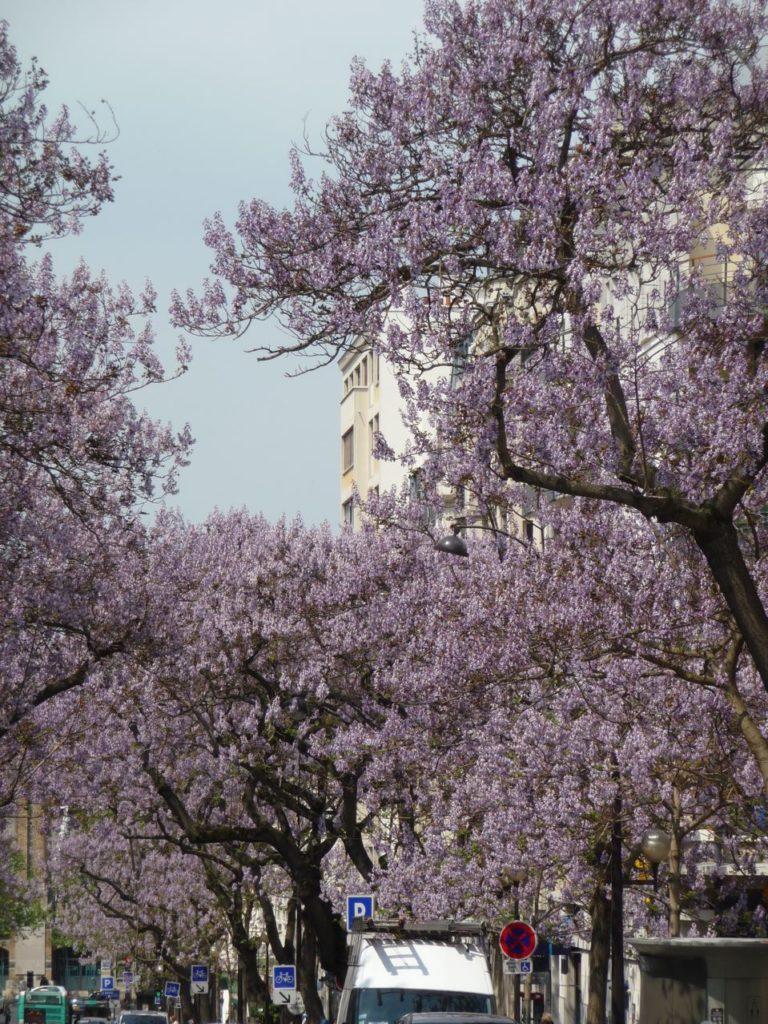 уход и условия выращивания вырастить дерево павловния