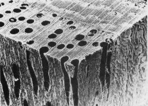 Павловния Кубань древесина